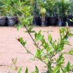 Anar Plant