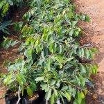 Kala Jamun Plant