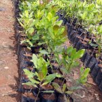 Kaju Plant
