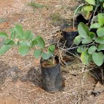 Red Sandal Plant