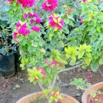 Bouganvilla Plant